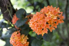 Closeup beautiful orange Ixora flower over blurred green garden background. Natural concept Royalty Free Stock Images