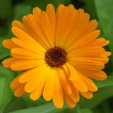 Closeup of beautiful orange marigold flower. Calendula. stock images