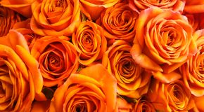 Closeup beautiful orange roses background. Represents Passion, admiration, congratulations and excitement. royalty free stock photography