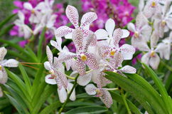 A closeup of a beautiful orchids in botanic garden of Singapore Royalty Free Stock Image