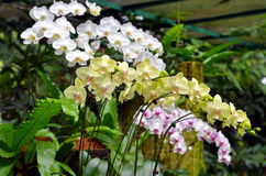 A closeup of a beautiful orchids in botanic garden of Singapore Royalty Free Stock Photography