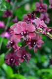 A closeup of a beautiful orchids in botanic garden of Singapore Royalty Free Stock Images