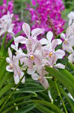 A closeup of a beautiful orchids in botanic garden of Singapore Stock Photography