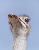 Closeup of a beautiful Ostrich Stock Images