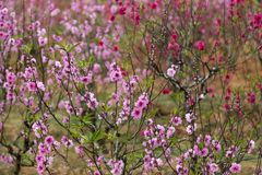 Peach trees blooming with pale and dark pink flowers Royalty Free Stock Photography
