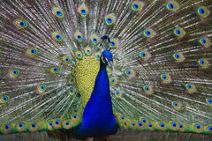 Closeup of beautiful peacock. Taken in Havana courtyard Stock Images