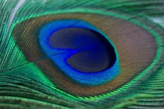 Closeup of a beautiful peacock feather Royalty Free Stock Photos