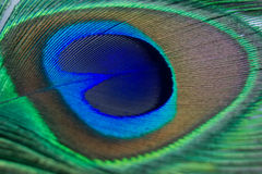 Closeup of a beautiful peacock feather Royalty Free Stock Image
