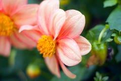 Closeup of a beautiful peony flower Stock Image