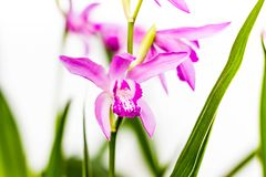Closeup of a beautiful pink Bletilla orchid flower. Bletilla isolated on white background, one of the early blooming hardy. Terrestrial garden plants royalty free stock images