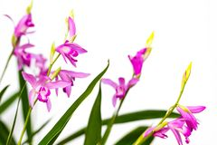 Closeup of a beautiful pink Bletilla orchid flower. Bletilla isolated on white background, one of the early blooming hardy. Terrestrial garden plants stock photo