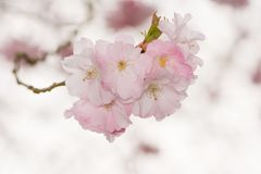 Beautiful pink cherry blossoms Royalty Free Stock Images