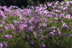 Closeup of beautiful pink daisy flowers. Closeup of beautiful pink daisy flowers in a country meadow with soft lighting Stock Photo