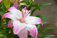 Closeup beautiful pink lily in the garden, thailand, right copys Royalty Free Stock Photo