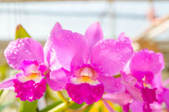 Closeup beautiful pink orchid in the garden Stock Image