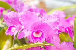 Closeup beautiful pink orchid in the garden Royalty Free Stock Images