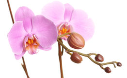 Closeup of a beautiful pink Phalaenopsis orchid Royalty Free Stock Image