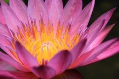 Closeup beautiful pink water lily pollen Stock Photo