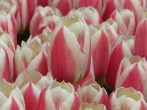 Closeup. Beautiful Pink and White Tulips Flowers Image. Many tulips blooming in the garden. Tulip field. Beautiful spring flower in sunny spring day in park stock photography