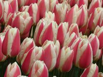 Closeup. Beautiful Pink and White Tulips Flowers Image. Many tulips blooming in the garden. Tulip field. Beautiful spring flower in sunny spring day in park royalty free stock photography