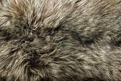 Closeup of beautiful polar Fox fur Stock Photos