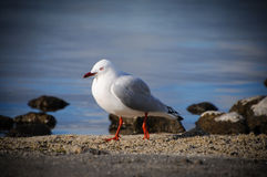 Closeup a beautiful portrait of seagull in paradise place, new zealand. The red-billed gull Chroicocephalus scopulinus, once also known as the mackerel gull, is Stock Photo