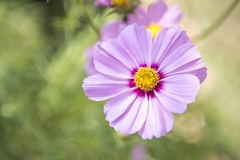 Closeup Beautiful purple cosmos flower over blurred green garden background. Natural concept background, outdoor day light Royalty Free Stock Photography