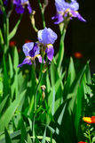 The closeup the beautiful purple iris blooms in spring. The closeup the beautiful purple iris blooms in spring, the flower blossoms on a flowerbed in a garden Royalty Free Stock Photo