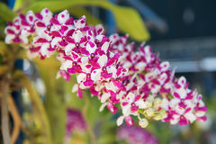 Closeup beautiful purple orchids flower tree Royalty Free Stock Images