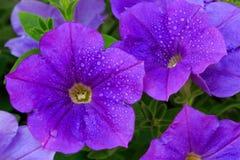 Closeup of beautiful purple Petunia. Stock Images