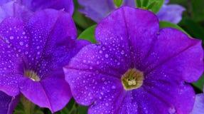 Closeup of beautiful purple Petunia. Stock Photo