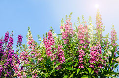 Closeup of beautiful purple, pink, and white flower ( Angelonia. Goyazensis Benth) with blue sky Royalty Free Stock Photos
