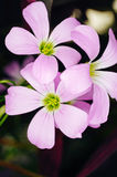 Closeup of Beautiful Purple Shamrock - Oxalis triangularis, flowering in garden Stock Photo