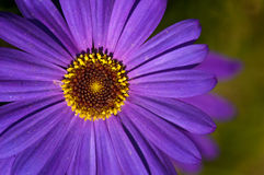 Purple daisy close up Royalty Free Stock Images