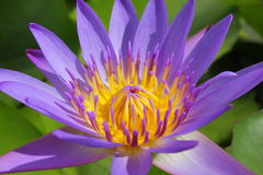 Closeup beautiful purple water lily pollen Royalty Free Stock Images
