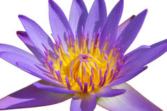 Closeup beautiful purple water lily pollen isolated on white background Stock Photography