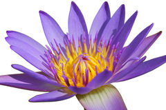 Closeup beautiful purple water lily pollen isolated on white background Royalty Free Stock Images