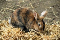 Rabbit,a rabbit in his enclosure in summer royalty free stock image