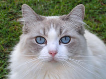 Closeup of beautiful Ragdoll cat Stock Photo