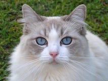 Closeup of beautiful Ragdoll cat Stock Photo
