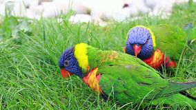 Closeup Of Beautiful Rainbow Lorikeet Couple. Closeup Of Beautiful Rainbow Lorikeet Trichoglossus Moluccanus Couple Perched on a Tree Branch stock video