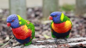 Closeup Of Beautiful Rainbow Lorikeet Couple. Closeup Of Beautiful Rainbow Lorikeet Trichoglossus Moluccanus Couple Perched on a Tree Branch stock footage