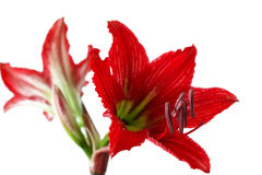 Closeup of a beautiful red flower called mother-in-law and daughter-in-law 1. A Royalty Free Stock Image