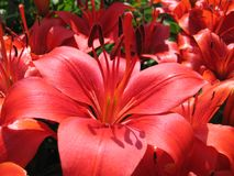 Beautiful red lily Stock Images