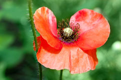 Closeup of a Beautiful Red Poppy in a Garden Royalty Free Stock Images