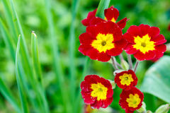 Closeup of beautiful red primrose Stock Photo