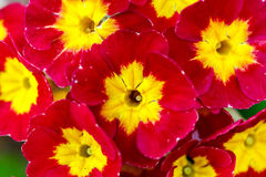 Closeup of beautiful red primrose Stock Image