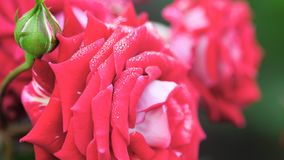 Closeup of a beautiful red Rose with rain drops stock video