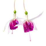 Closeup of beautiful red and white fuchsia flower is isolated on Royalty Free Stock Photos