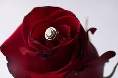 Closeup of a beautiful romantic red Rose with diamond wedding gold ring Royalty Free Stock Photos